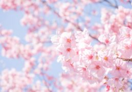 Cherry blossom and blue sky