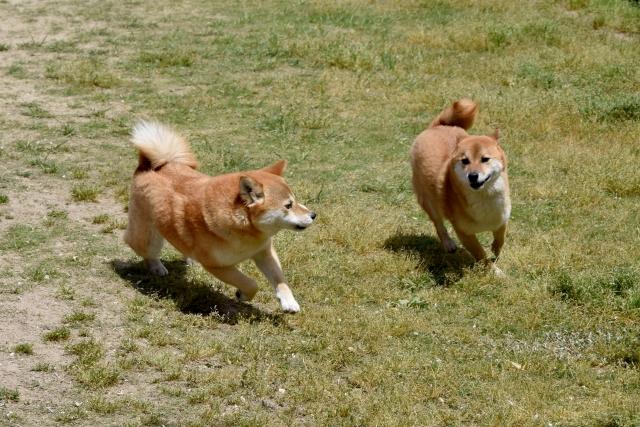 2 shiba dogs are running
