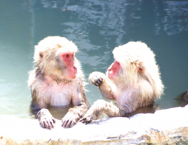 Japanese Monkeys having fun in hot spring