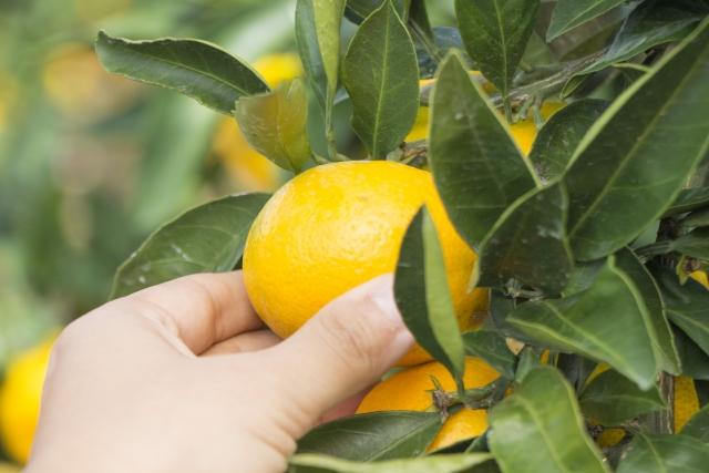 MIkan gari -Picking oranges-