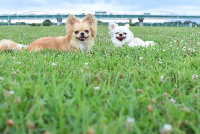 2 dogs in a field