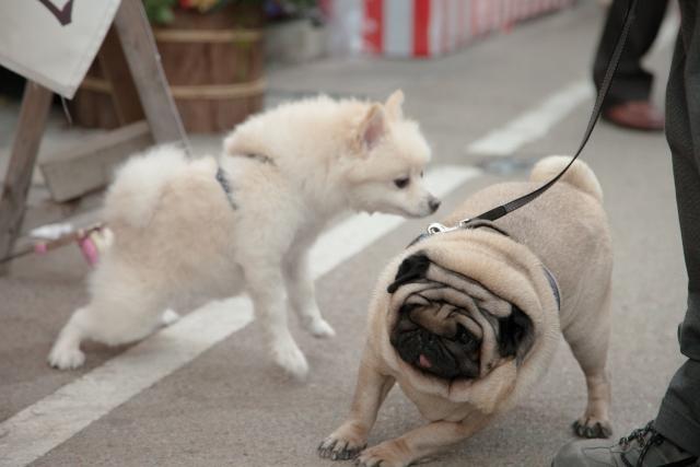 white spitz smells pug