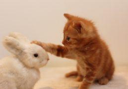 仔ウサギを撫でる仔猫の写真