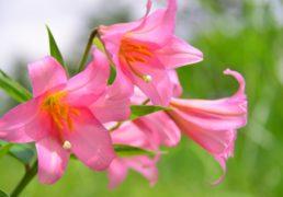 楚々と咲く、百合の花の写真