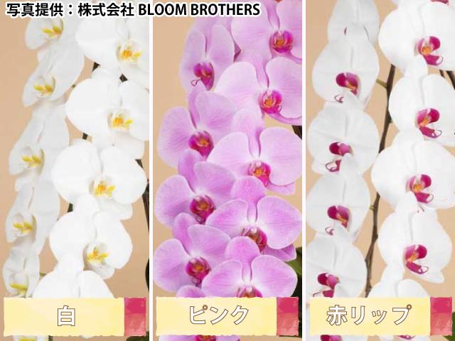 胡蝶蘭の色