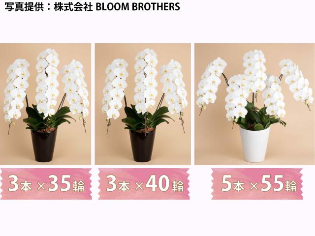 胡蝶蘭の写真ボリューム比較